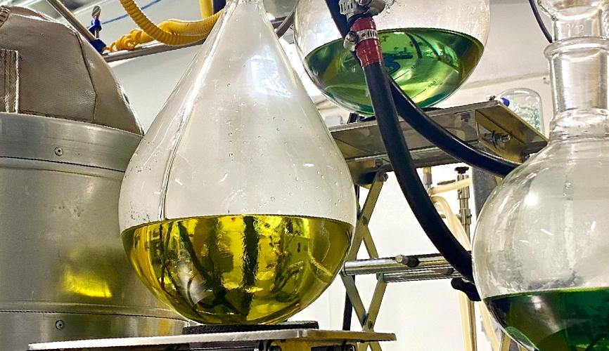 Laboratory bulbs of CBD oil during the distillation process.
